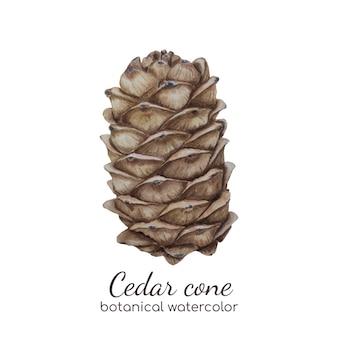 Watercolor cedar cone botanical