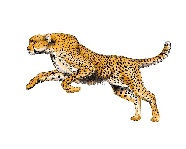 Watercolor cheetah on white