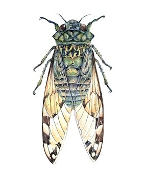 Watercolor cicada insect watercolor illustration