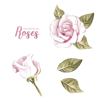 Watercolor collection of rose