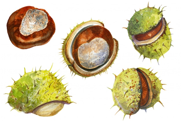 Watercolor collection with chestnuts