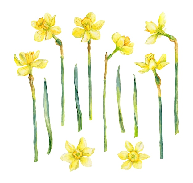 Watercolor daffodils collection hand drawn spring flowers