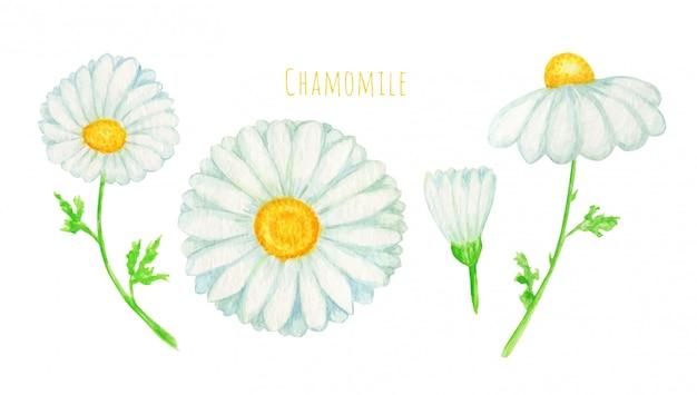 水彩のデイジーカモミールの花のイラスト。手描きの白い背景で隔離の植物ハーブ。カモミールの白い花、つぼみ、緑の葉、茎のセット。野生植物園ブルーム