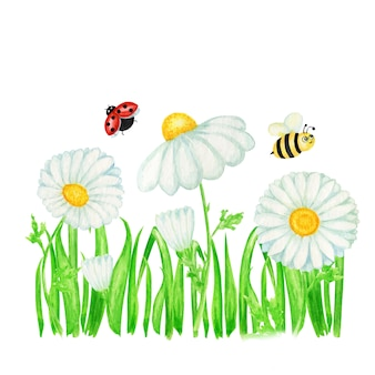 Watercolor daisy chamomile flower with fly ladybug, bee illustration. hand drawn botanical herbs. chamomile white flowers, buds, green leaves, stems, grass banner