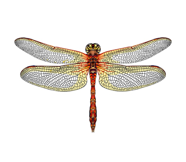 Watercolor dragonfly on white