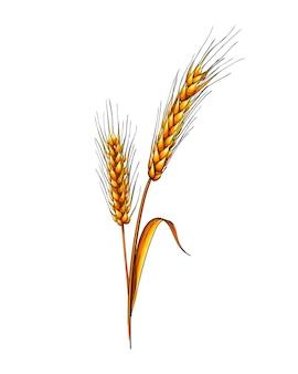 白地に小麦の水彩画の耳