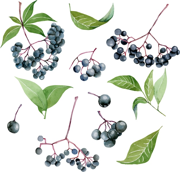 Watercolor eldeberries illustration collection