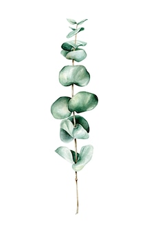 Watercolor eucalyptus branch isolated on white background
