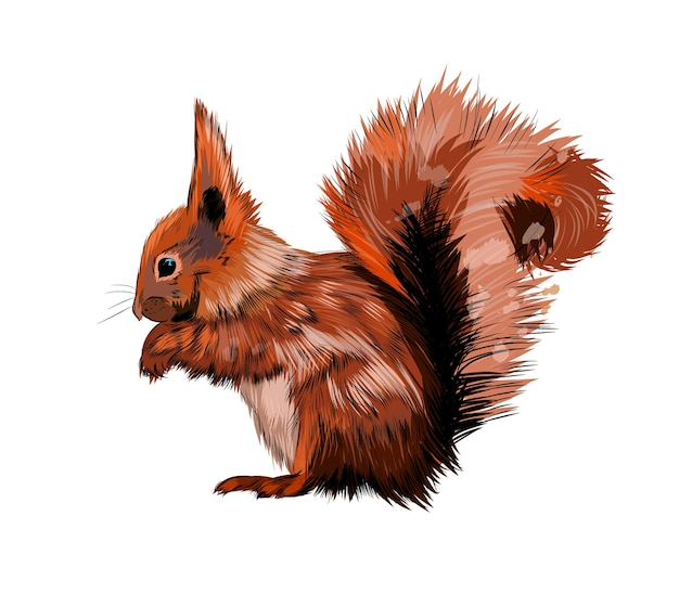 Watercolor eurasian red squirrel on white