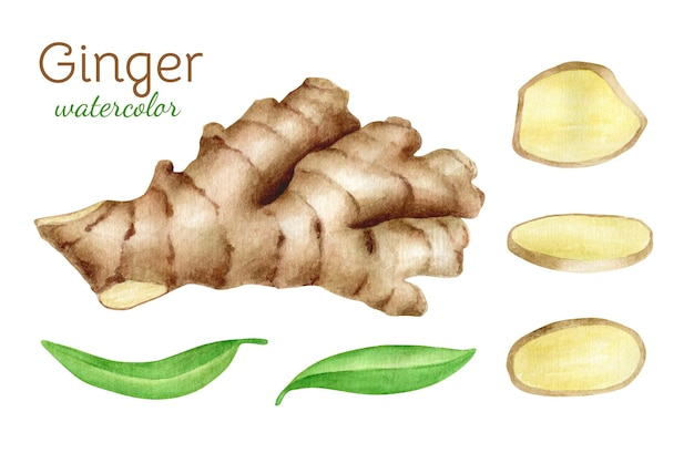 Watercolor ginger root set with slices and leaves