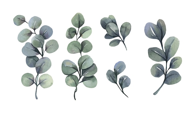 Watercolor green eucalyptus leaf branches.