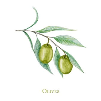 Watercolor green olive tree branch leaves fruits, realistic olives botanical illustration isolated on white background, hand painted, fresh ripe cherries collection.