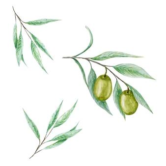 水彩のグリーンオリーブの木の枝の葉フルーツセット、現実的なオリーブ植物イラスト分離、手描き、新鮮な熟したチェリーコレクション