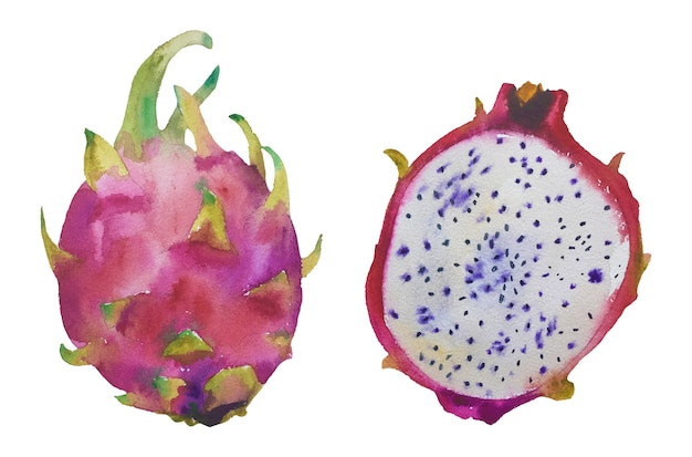 Watercolor hand drawn  exotic  dragon fruit.