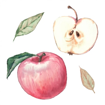 Watercolor hand illustration apples and leaves.
