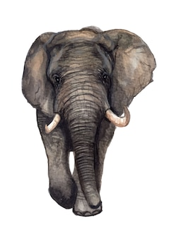 Watercolor hand painted elephant illustration