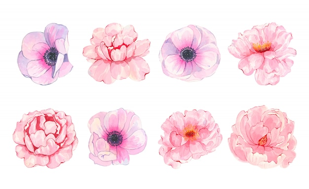 Watercolor hand painted flower pink peony anemone isolated on white