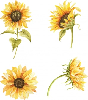 Watercolor hand painted sunflowers