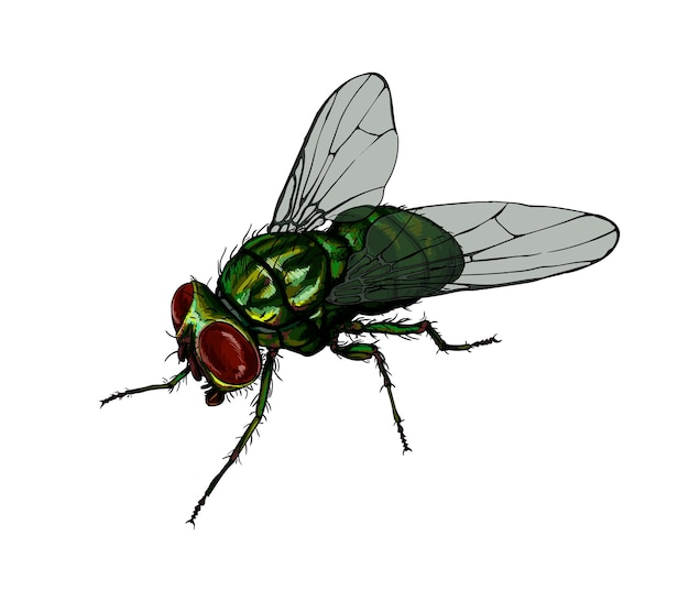 Watercolor housefly  on white