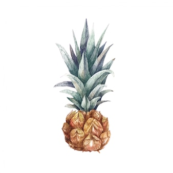 Watercolor illustration of fresh ripe pineapple. hand drawn fruit for your design isolated on white