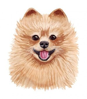 Watercolor illustration of a funny dog. popular dog breed. pomeranian dog. pomeranian spitz. hand made character isolated on white