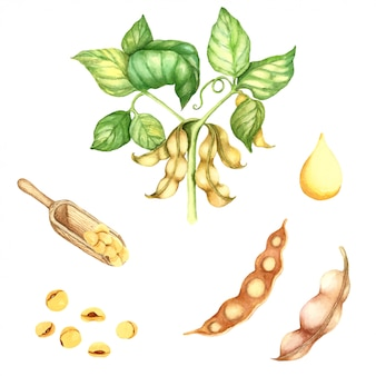 Watercolor illustration of soy bean plant