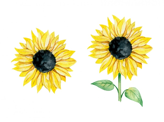Watercolor illustration of a yellow sunflower with and without stem set