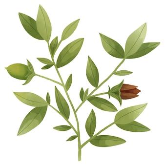 水彩ホホバ植物イラスト