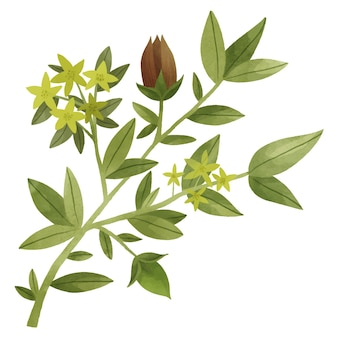 Акварельная иллюстрация растения жожоба