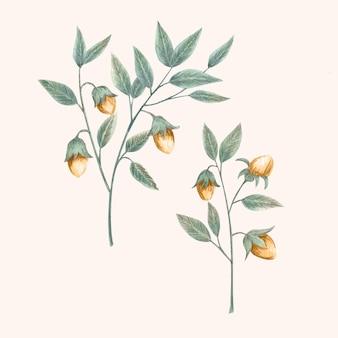 Watercolor jojoba plant illustration