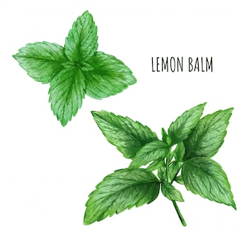 Watercolor lemon balm leaves, tea plant, hand drawn