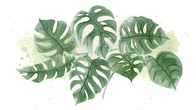 Watercolor of monstera leaves on white background.