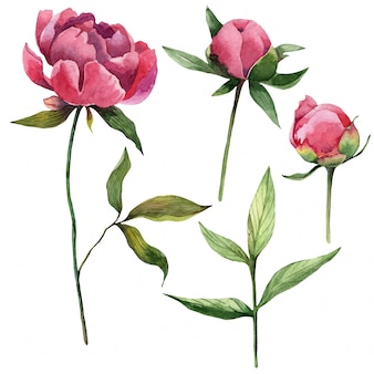 Watercolor natural peonies flowers, leaves and buds