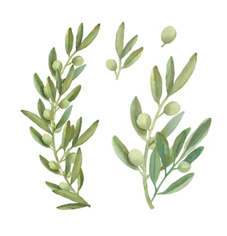 Watercolor olive  branches collection.