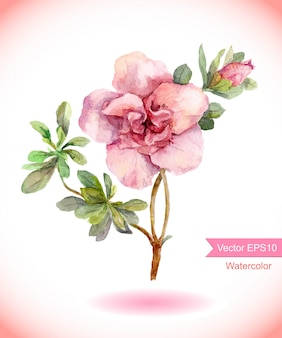 Watercolor pink camelia flower