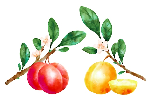 Watercolor plum fruit and flowers illustration