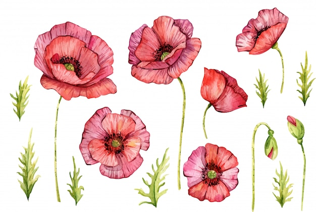 Watercolor poppy flowers. isolated. hand painted illustration. red flowers