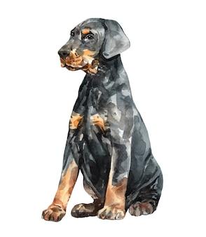 水彩子犬ドーベルマンピンシャー。水彩の手描きイラスト。