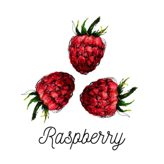 Watercolor raspberry drawing isolated on white background