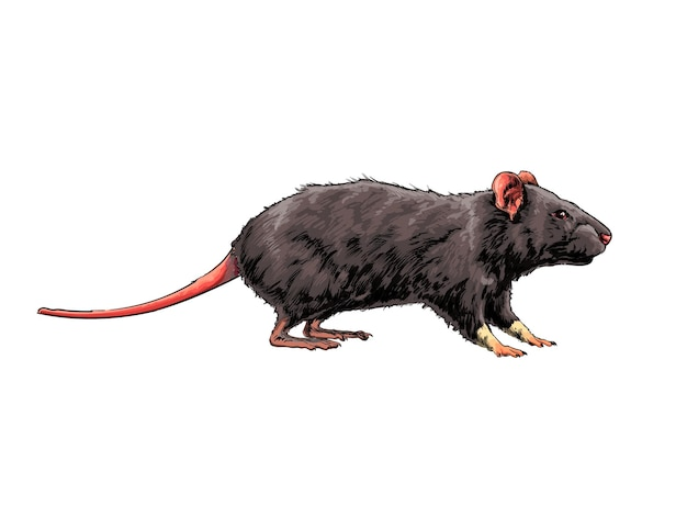 Watercolor rat, mouse on white
