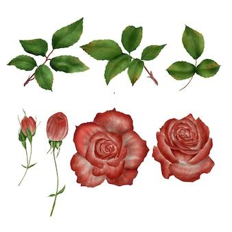 水彩のバラの花の要素と葉