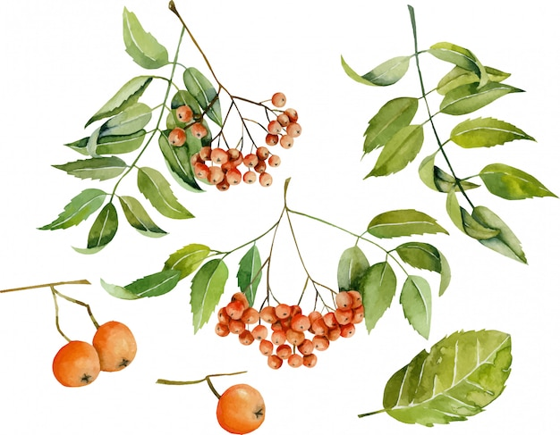 Watercolor rowan berries illustration collection