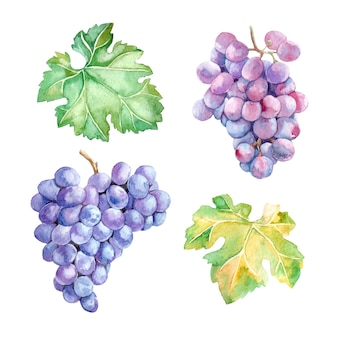 Watercolor set of bunch of grapes and leaves