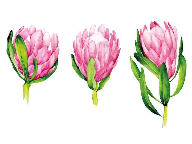 白い背景で隔離の熱帯ピンクの花プロテアの水彩セット