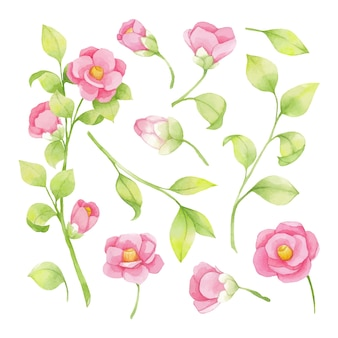 Watercolor set of pink flowers and green branch, leaves, japanese camellia
