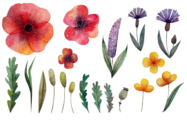 Watercolor set of poppy and cornflower wild flowers and herbs
