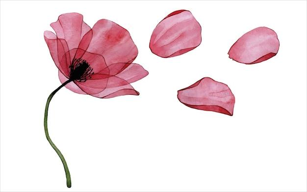 투명한 붉은 양귀비 꽃과 꽃잎이 있는 수채화 세트 빈티지 클립 아트