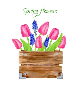 Watercolor spring bouquet in wooden box pink tulips with leaves and muscari flowers illustration