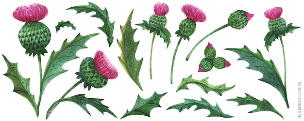 Watercolor thistle flowers and leaves