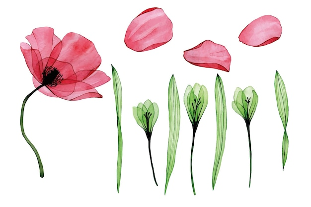 Акварель прозрачные цветы лепестков и листьев флокса мака, изолированные на белом фоне
